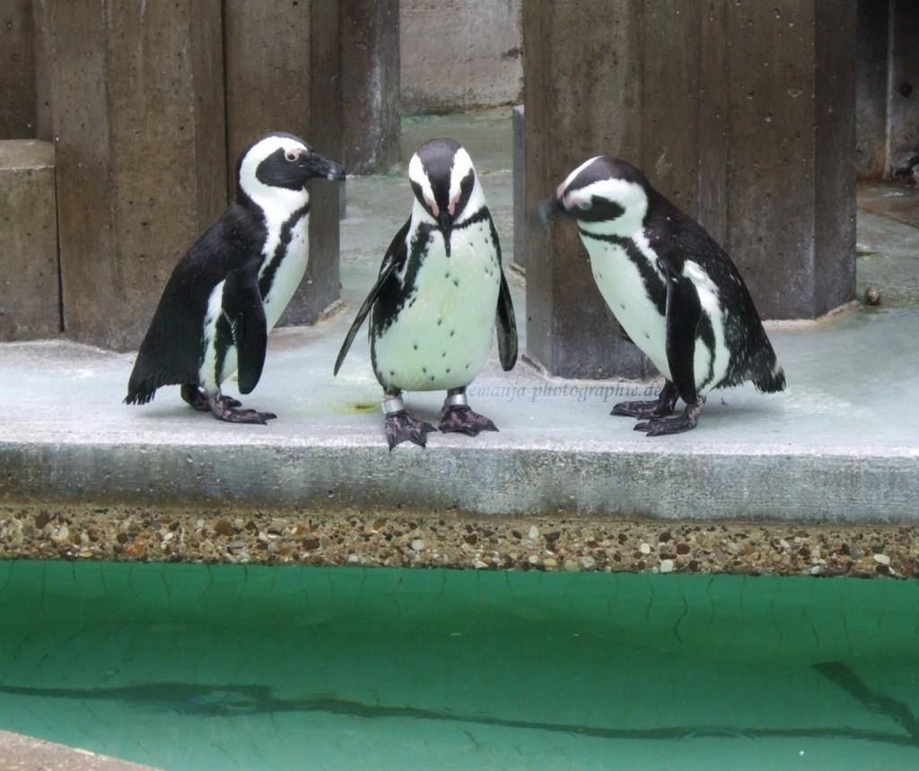 pinguine (5)